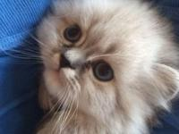 I have male and female Himalayan kittens .They are born