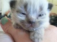 We have 6 adorable himalayan kittens that will be ready