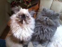 WE HAVE TWO GORGEOUS HIMALAYAN SEAL TORTIES AND ONE