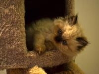 Beautiful CFA registered Himalayan kittens. We have 2