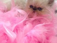 2 Adorable Himalayan kittens available-the boy is a