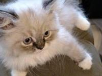 3 CFA registered female Himalayan kittens. Bicolor blue