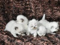 I have a beautiful litter of 5 kittens for sale. I am a