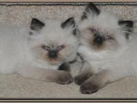 I am raising persian himalayan kittens.