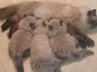 HIMALAYAN KITTENS, ready now for Christmas 2012. Three
