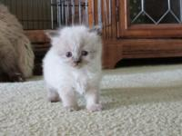 I have a litter of 3 purebred blue eyed Himalayan