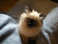 I have 1male seal point himalayan purebred and