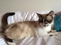 Himalayan male cat. He has beautiful markings Short