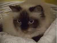 Breeder with several older Himalayan and Persian cats