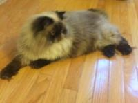 1 year old male himalayan persian cat, CFA certificate,