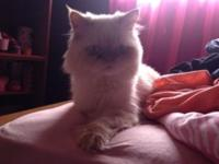 HIMALAYAN/PERSIAN..... BEAUTIFUL, VERY LOVING 1 YEAR