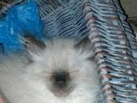 I have 2, soft & fluffy, seal point Himalayan/Persian