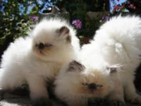 CFA CHOCOLATE POINT HIMALAYAN KITTENS. 2 months old