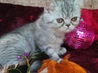 Animal Type: Cats Breed: Exotic Gorgeous female short