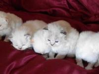 We have new Himalayan/Ragdoll kittens. The father is a