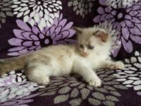 I have 5 gorgeous himalayanragdoll mix kittens. They