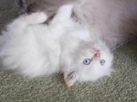 Blue eyed Himalayan/Ragdoll mix...8 weeks old and have