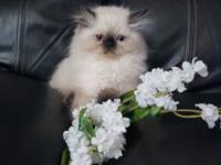 Stunning Blue Eyed , Seal Point Himalayan kittens These