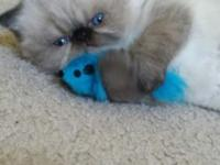 Adorable female seal point Himalayan kitten with