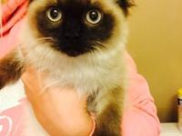 10 week old male Seal point Himalayan kitten. Doll