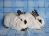 Himalayan - Skippy And Peanut - Medium - Adult -