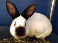 Himalayan - Twinkie - Medium - Adult - Male - Rabbit