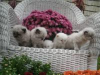 Beautiful Balls Of Fur...Several kittens available in