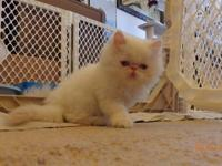 Adorable Himalayan Kittens are ready for there new