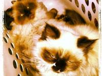 I have two beautful blue eyed purebred himalayan