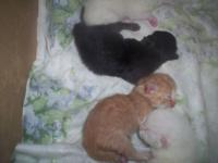 Himalayin Kittens Will be Vet Checked 1st shots and