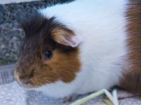 HipHop and Blanco Guinea Pigs 5 Years Males  Hi!  We