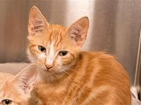 History's story Primary Color: Orange Tabby Secondary