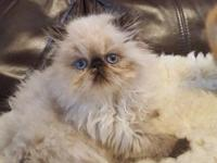 Beautiful Himalayan kittens for sale. healthy girls and