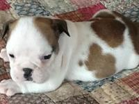 Hobson is a piebald male English Bulldog puppy with