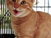 Hodor's story Hodor is a sweet, young adult kitty who