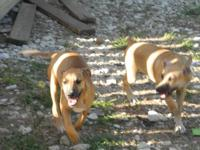 2 female Catahoula/Black Mouth Cur from working