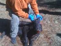 Come experience Florida's Finest Wild Boar Hunts. $100