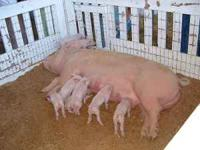 pigs, just over 3 months old, yorhshire no hormons no