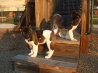 1 of a litter of Akita Puppies born 9/27-28... Ready to