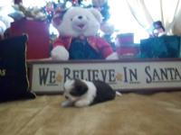 **Holiday Special** $100 off! Our Shih-tzu puppies are