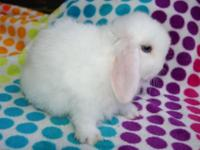 Blue Eyed White Holland Lop Doe available. $100 Our