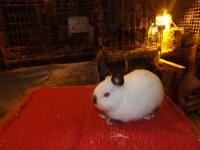 I have a beautiful female holland lop. She is 3 years