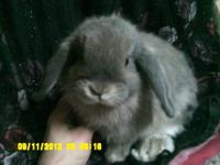 I have some Holland Lop bunnies and 1 Lionhead bunny