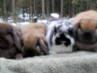 Little bundles of love,adorable hand fed dwarf lop