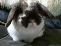 I have two Holland Lop Bunnies. One doe broken torte