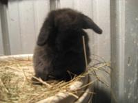 Hollland Lop Bunnies!!! We have one black male