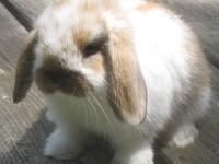 Cute, friendly little Holland Lop male bunny born