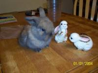 Milo is an adorable Pedigree Holland Lop bunny. He is