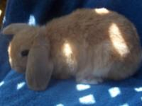 Available Holland Lop bunnies born June 5th: ** Fawn