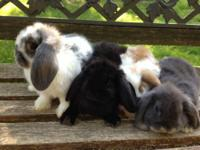 I have Holland Lop bunnies that are ready for their